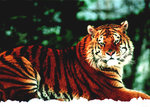 Black Framed - Siberian Tiger Snow - Living In The Wild Mini A2 Poster