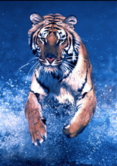 Tiger Running Wild Mini A2 Paper Poster