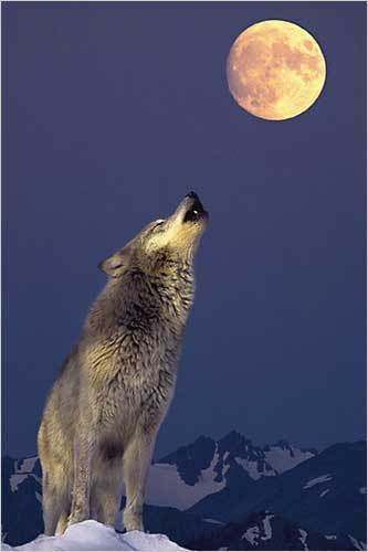 Grey Wolf, Howling at the Moon - Maxi Paper Poster