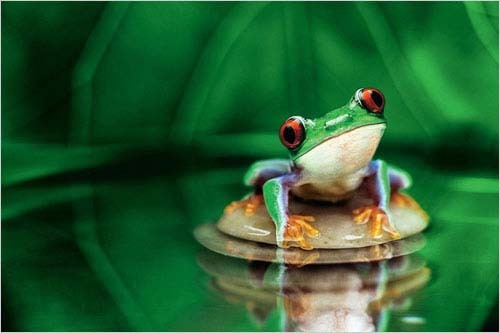 Red-Eyed Tree Frog - Maxi Paper Poster