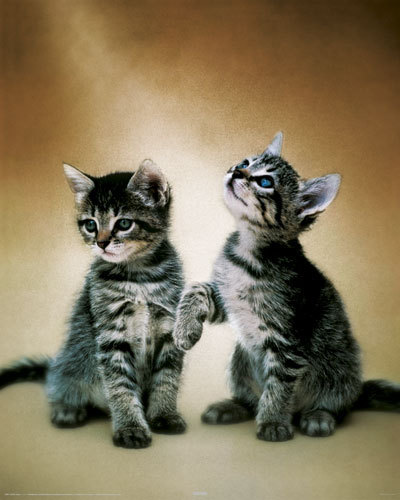 Cats - Cute Kittens Couple - Mini Paper Poster