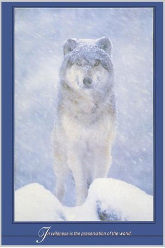 Artic Wolf Tenderness Maxi Paper Poster