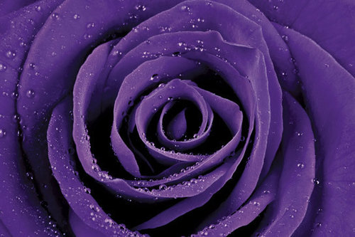 Purple Rose Maxi Paper Poster