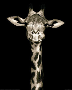 Kings Of Nature - The Giraffe - Mini Paper Poster
