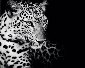 Kings Of Nature - The Leopard - Mini Paper Poster